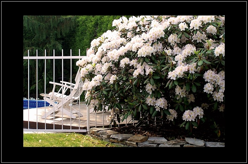 le rhododendron de sylvie - sylvie