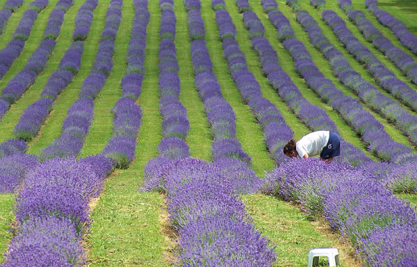 bleu lavande - lavender blue
