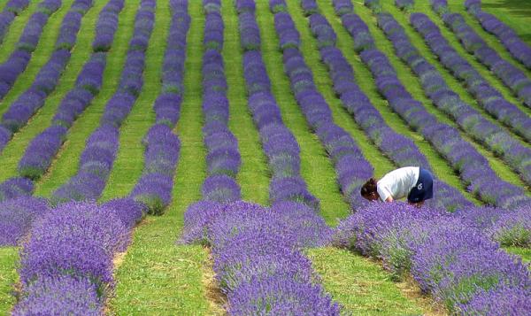 bleu lavande II   lavender blue II