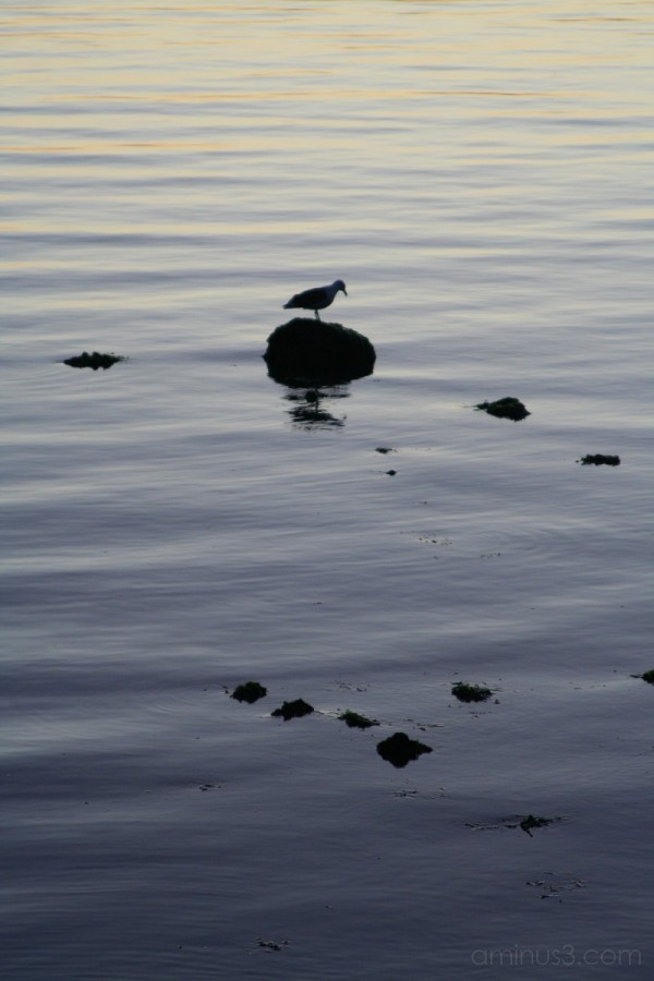Bird in the water near Richmond Bridge
