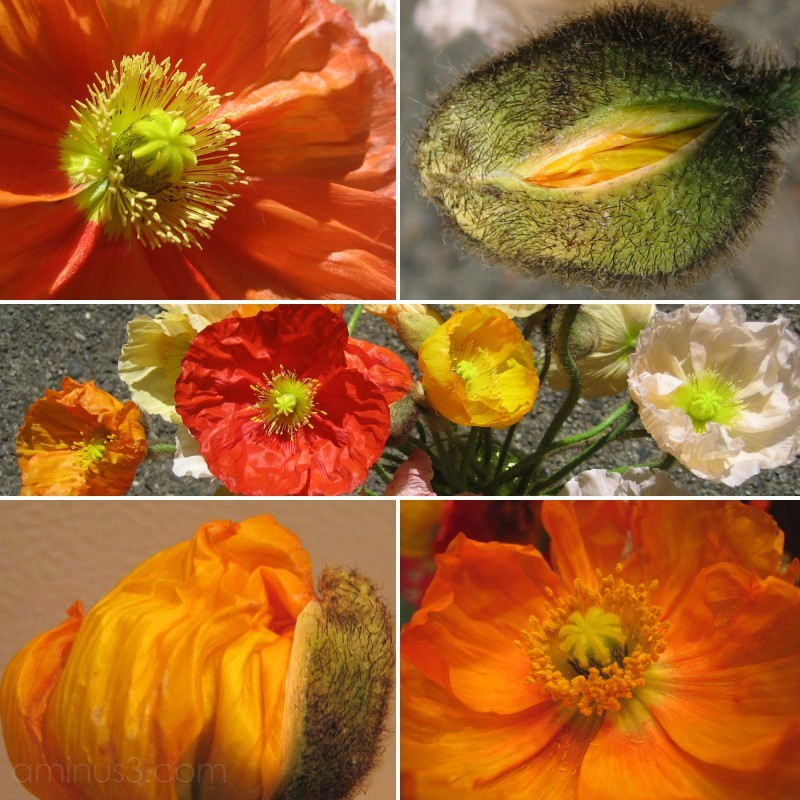 collage of photos of iceland poppies