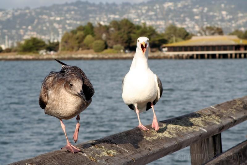 Seagulls on the Berkeley Pier