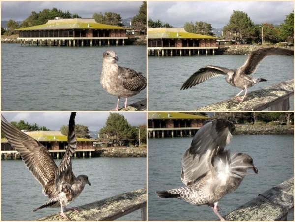 Seagull on the Berkeley Pier
