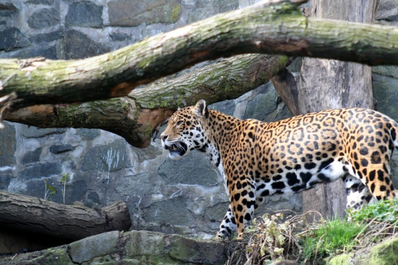 A Jaguar at the Edinburgh Zoo