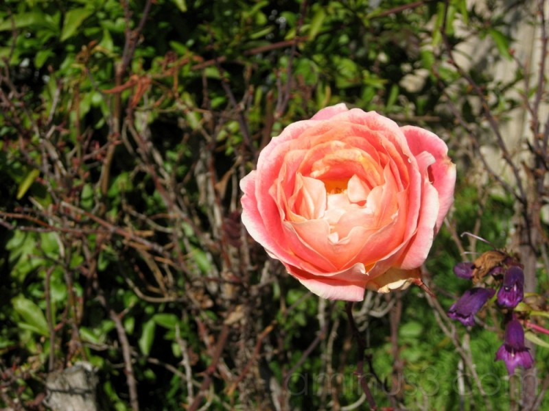 Rose near Townhouse in Emeryville