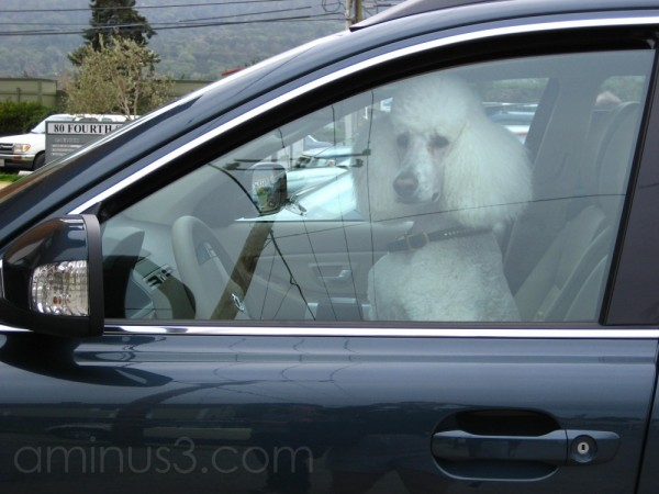 Dog in the Driver's Seat
