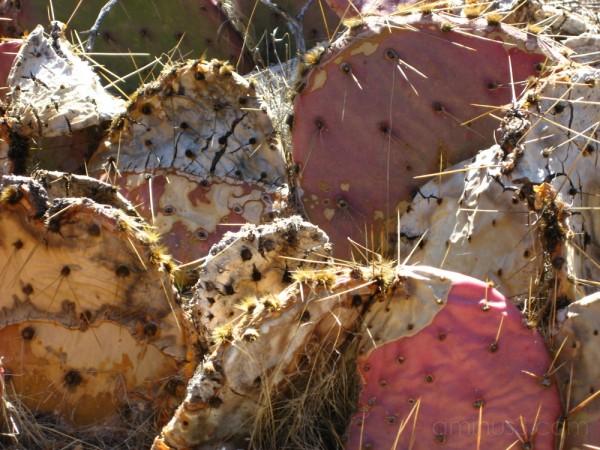 Cacti in Red Rock