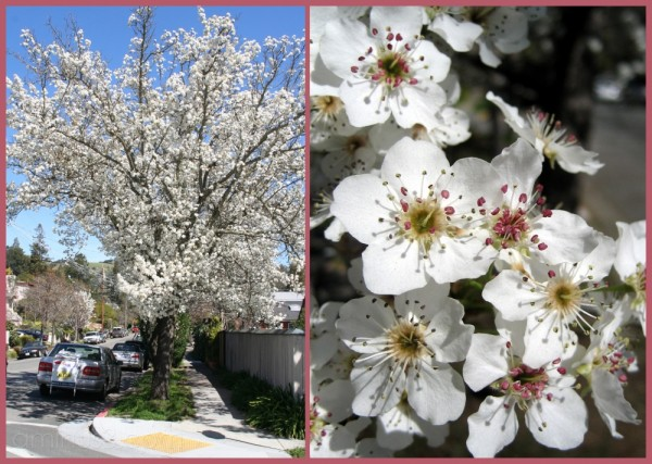 Blossoms in San Anselmo