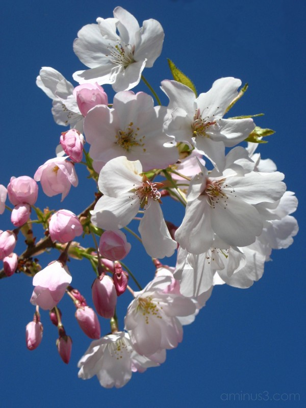 Blossoms at the Japanese Tea Garden