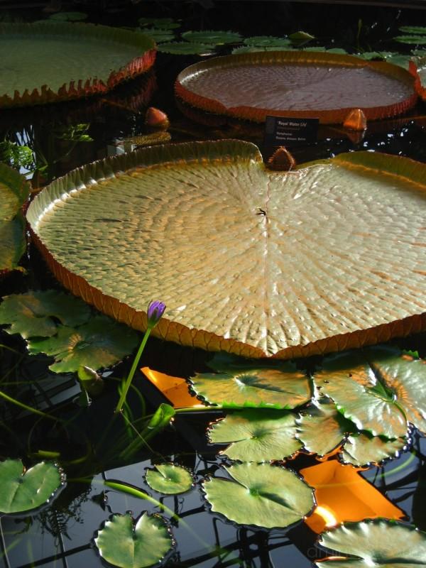 Lillies in Wintergarden