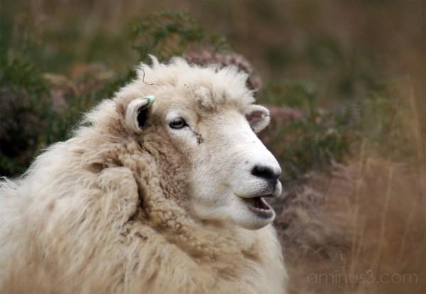 Sheep in the Diamond Lake area