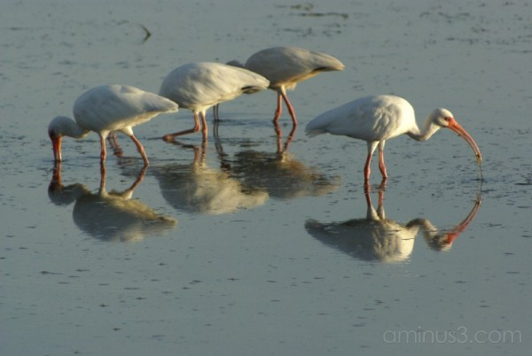 Ibis Waterfowl Nature Birds Beach Ocean