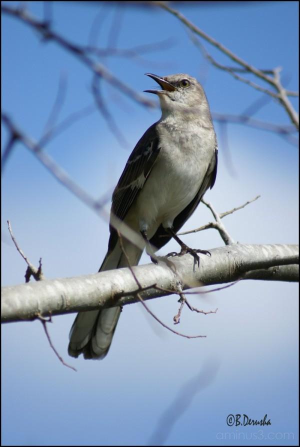 Mockingbird in a tree