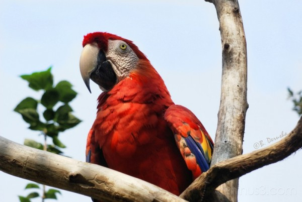 Red Blue Macaw Alligator Farm