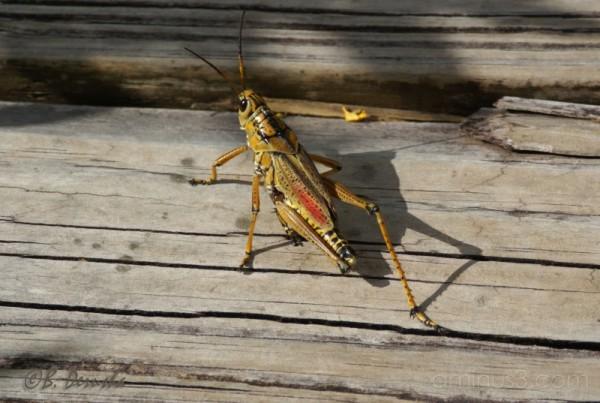 insect bug florida grasshopper