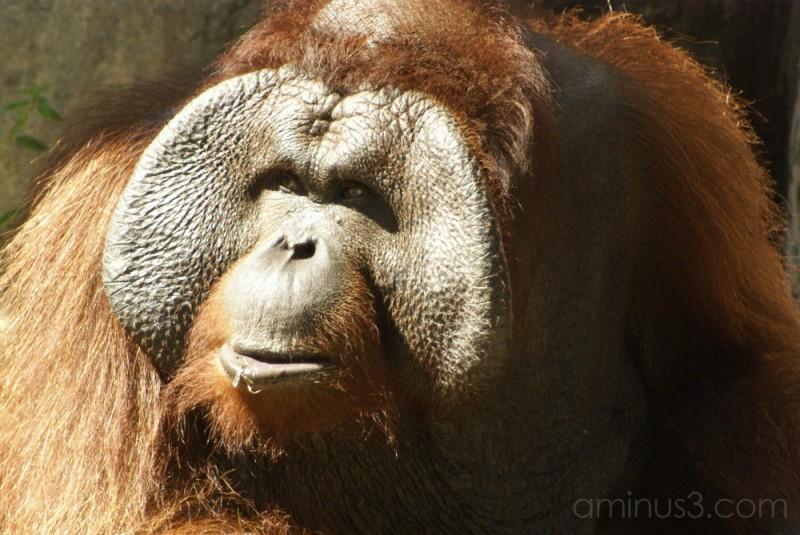male orangutan lowry park zoo