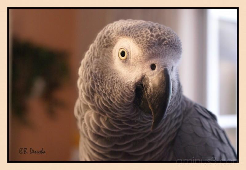 exotic bird parrot african grey gray parrot pet