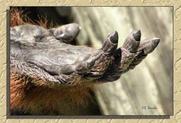 orangutan lowry park zoo tampa florida