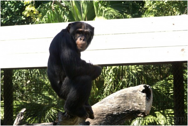 chimp chimpanzee lowry park zoo florida