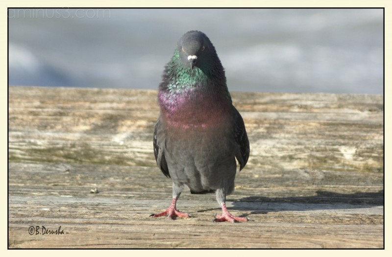 pigeon bird at clearwater florida beach