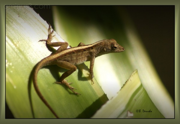 brown lizard florida reptile