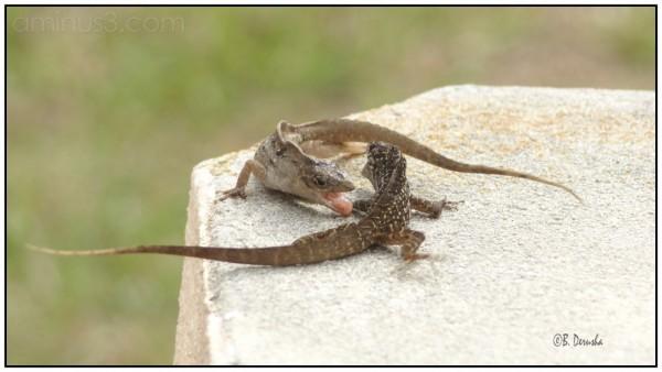 Feuding Lizards