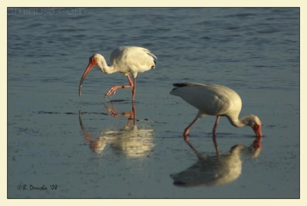 ibis bird feeding florida