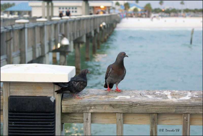 Pigeon Life on the Pier