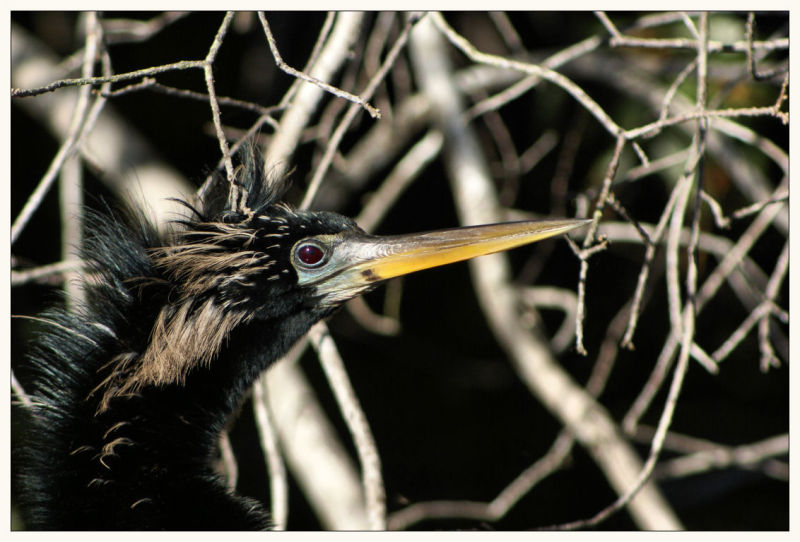 Anhinga (2nd in Series)