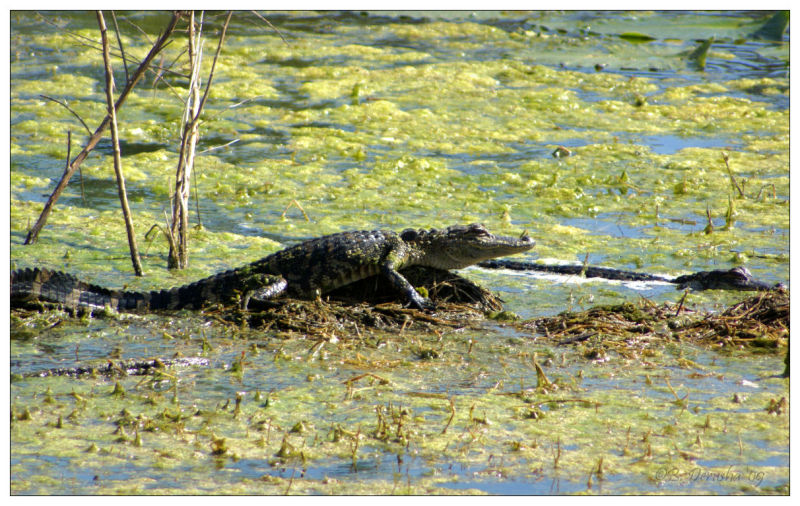 Young Gator