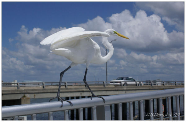 Great White Heron II