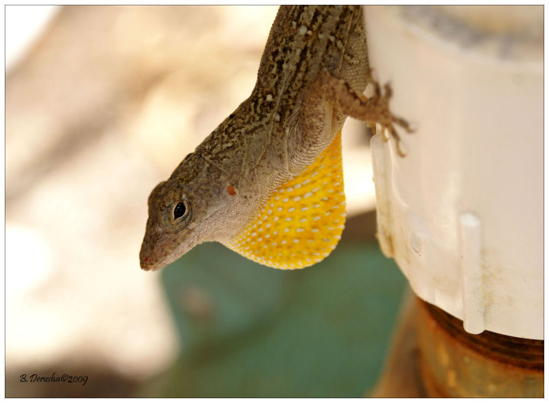 Yellow Bearded Anole