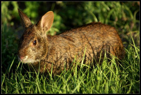 Florida Marsh Rabbit