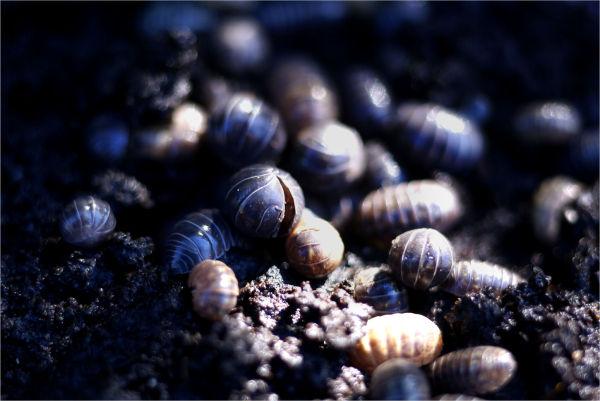 Pillbug - Armadillidium vulgare (2)
