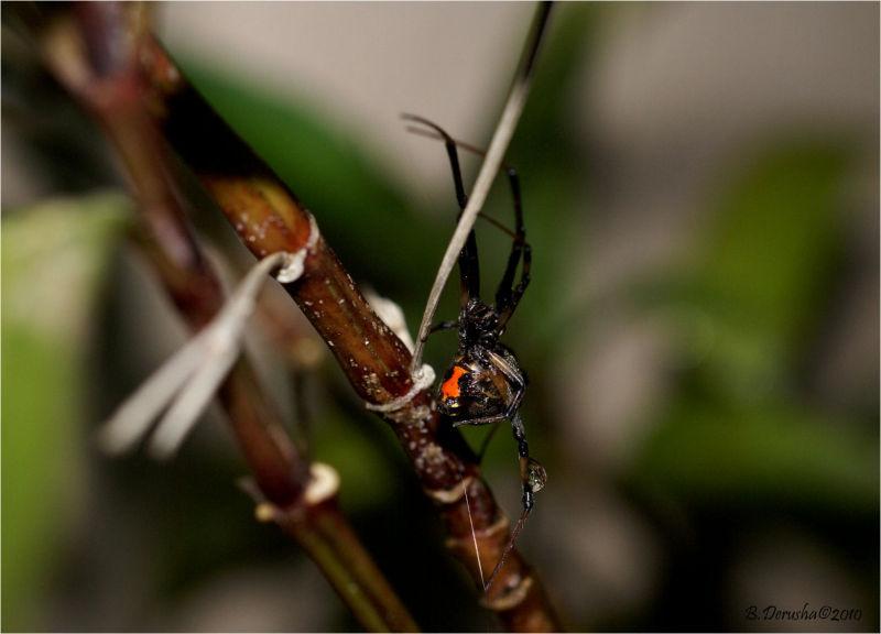 Latrodectus geometricus (Brown Widow Spider)