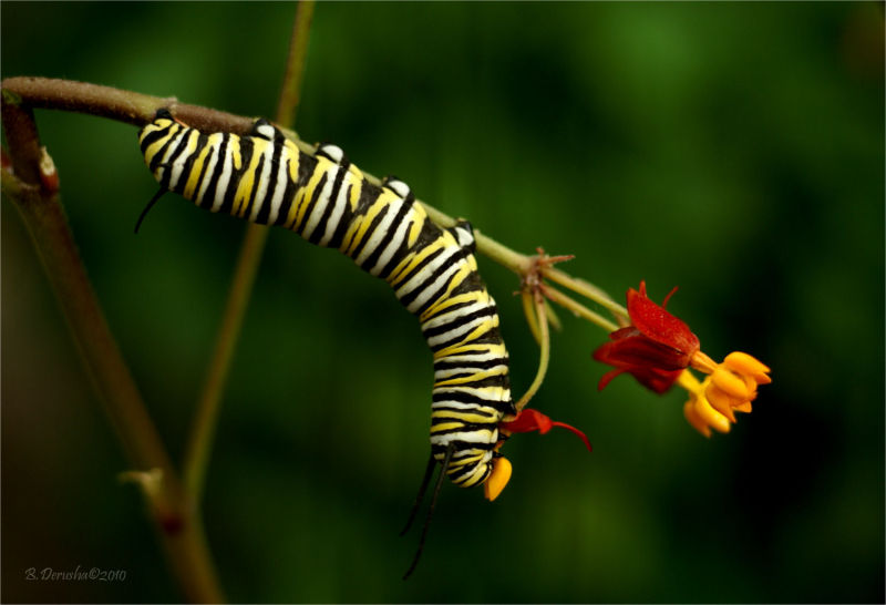 Monarch Caterpillar (1 of 3)