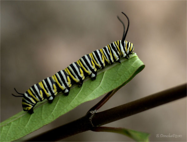Monarch Caterpillar (3 of 3)