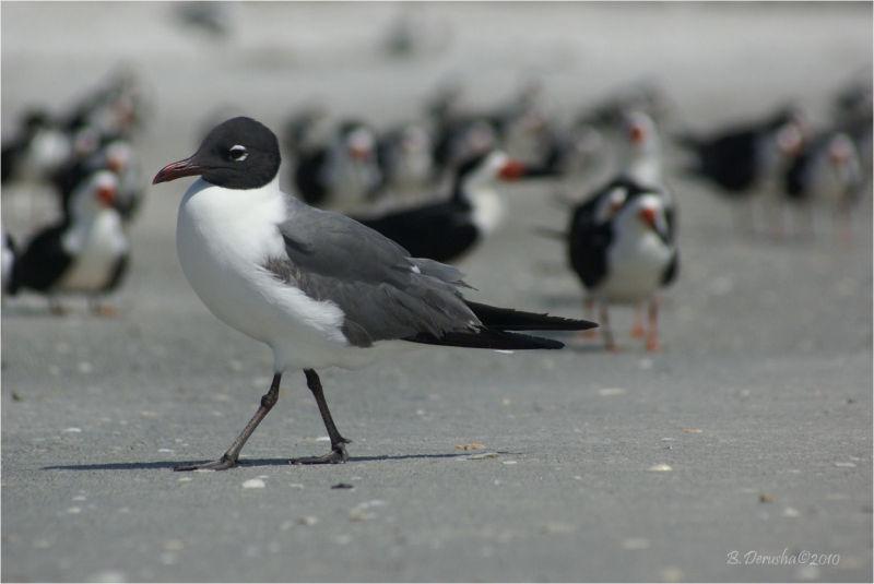 Laughing Gull (Larus atricilla )
