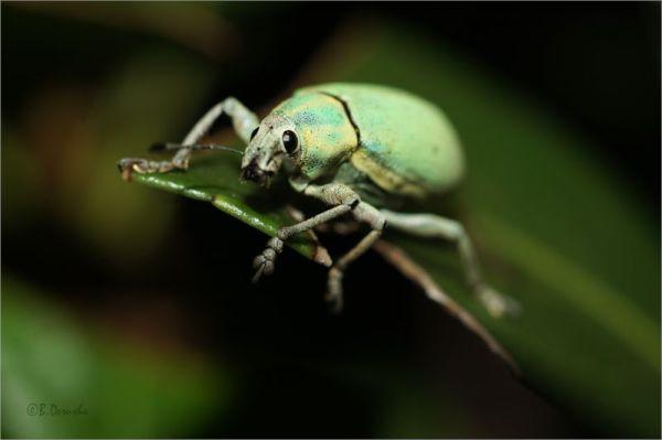 Green Weevil - Pachnaeus litus