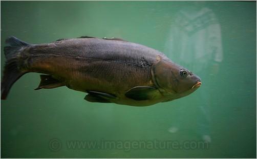 Big fish and human silhouette reflection in aquari