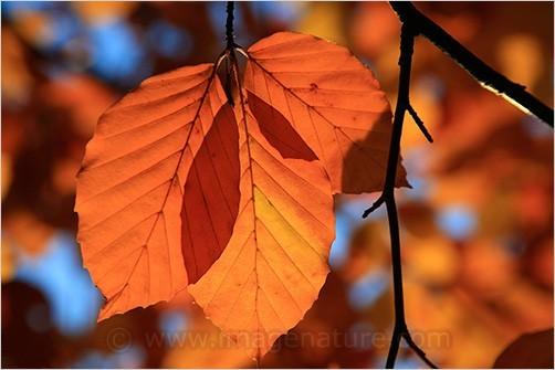 Three brown beech leaves (Fagus sylvatica)
