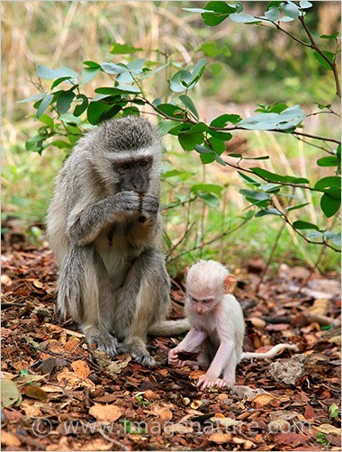 Vervet Monkey (Chlorocebus pygerythrus) with albin