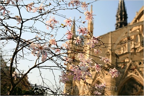 Blooming pink magnolia with Notre Dame de Paris