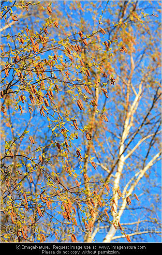 Blossoming birch tree at spring photo