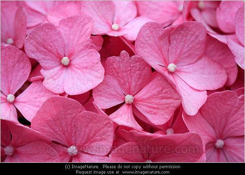 Pink hortensia (Hydrangea) background