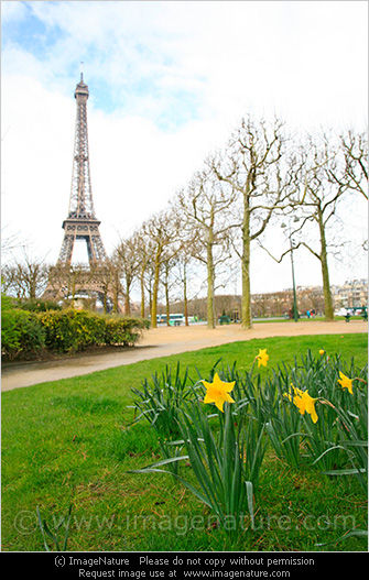 Spring in Paris: Eiffel tower with daffodils
