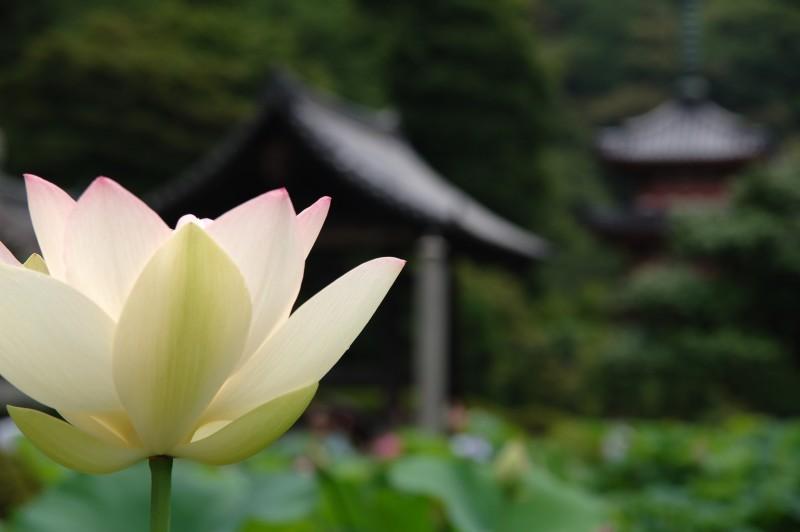 Lotus from the Mimuro toji garden