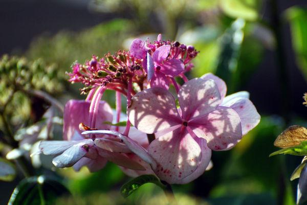 Fleur, plante, nature, hortensia