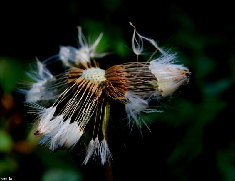 fleur,pissenlit,nature