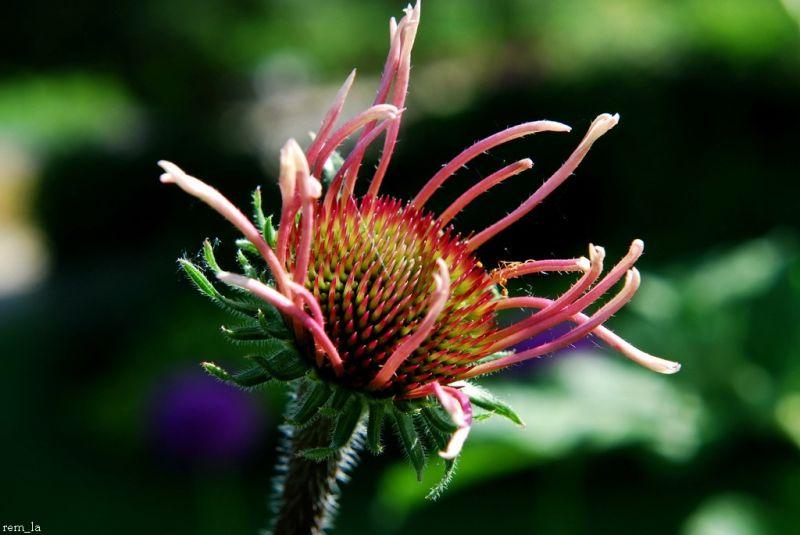 fleur,pétale,nature